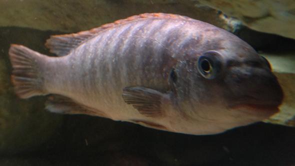 Hier der Fisch. Man sieht das seine Oberfläche nicht gut aussieht - (Fische, Aquaristik, Malawi)