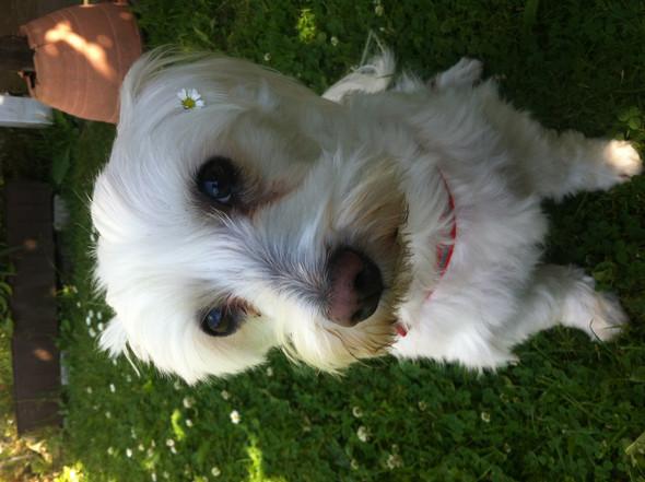Joschi  - (Hund, Malteser)