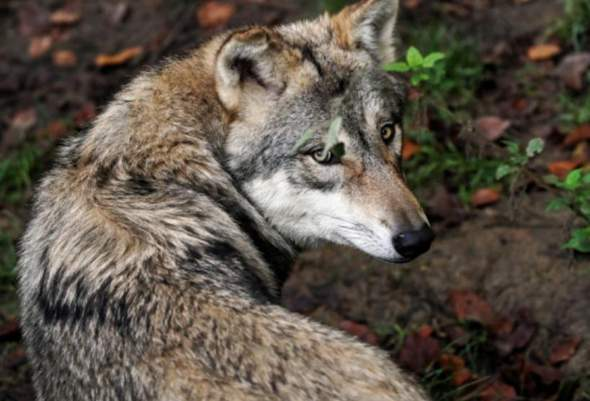 Man Wolf 1v1 Naked?