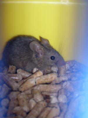 Maus Oder Junge Ratte Im Haus Mit Bild Tiere Schadlinge Altbau