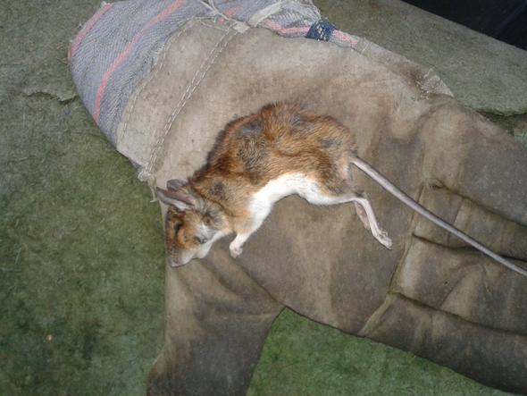 maus/Ratte - (Maus, Ratten)