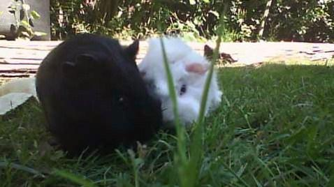 der schwarze ist speedy der verstorbene und der weiße ist stupsi :( - (Meerschweinchen, tot, sterben)