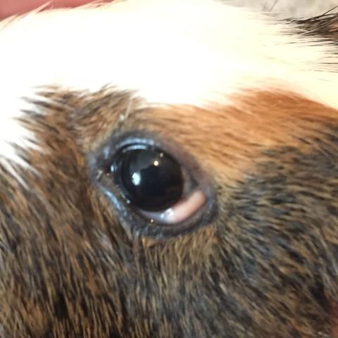 Diese weiße Stelle das ist am anderen Auge nicht  - (Tiere, Augen, Haustiere)