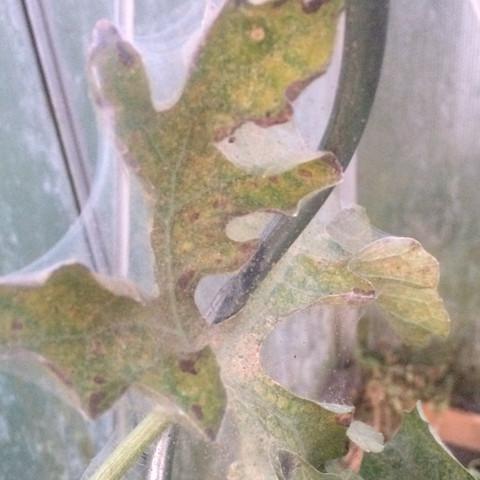 Wurden regelmäßig gedüngt und gewässert - (Gesundheit und Medizin, Garten, melone)