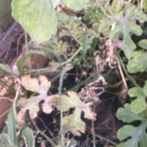 Pflanze 2  - (Gesundheit und Medizin, Garten, melone)
