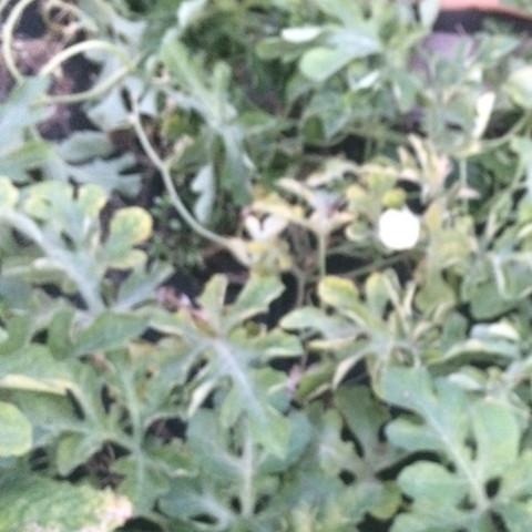 Pflanze 3 - (Gesundheit und Medizin, Garten, melone)