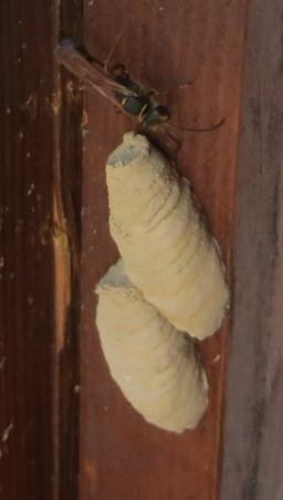 Die Schlupfwespe  - (Insekten, Spinnen, schlupfwespe)