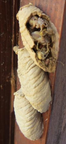Aufgebrochener Lehmkokon - (Insekten, Spinnen, schlupfwespe)