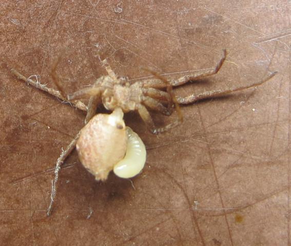 Spinne mit eventueller Schlupfwespenlarve - (Insekten, Spinnen, schlupfwespe)
