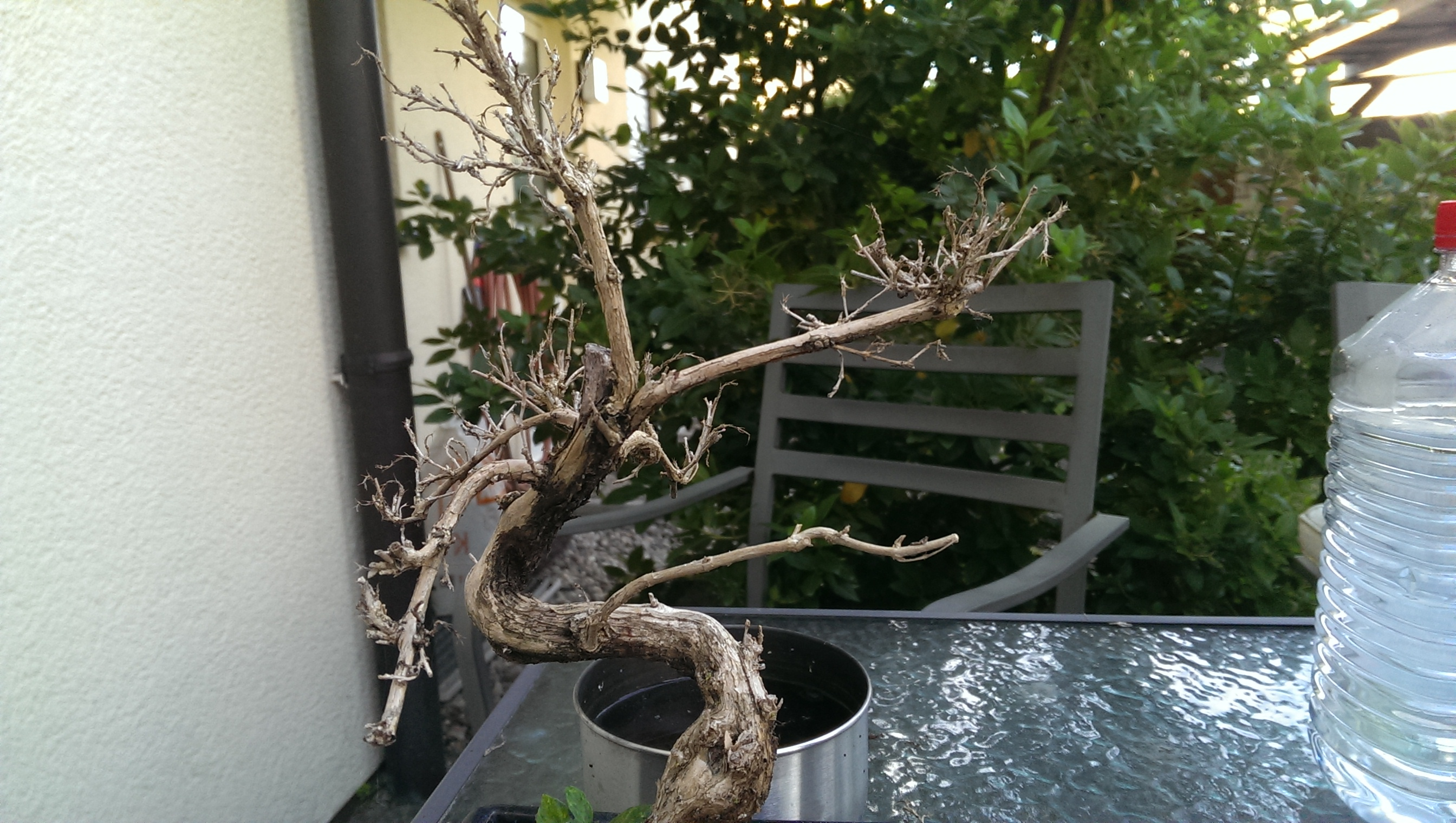 mein bonsai ist eingegangen was kann ich machen natur baum. Black Bedroom Furniture Sets. Home Design Ideas