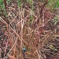 Wie man sieht vertrocknete Spitzen und etwas eingerollte Blätter