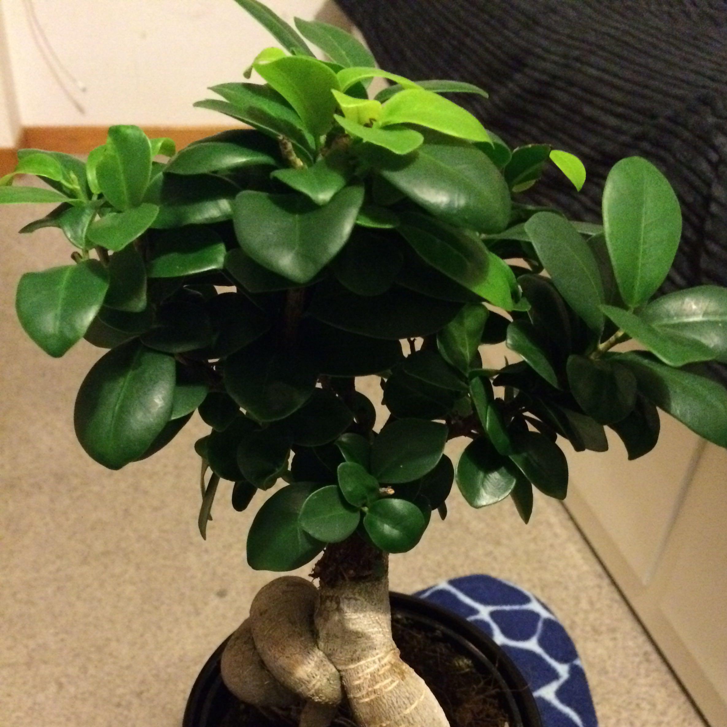 mein ficus ginseng bonsai verliert bl tter was soll ich tun pflanzen japan baum. Black Bedroom Furniture Sets. Home Design Ideas