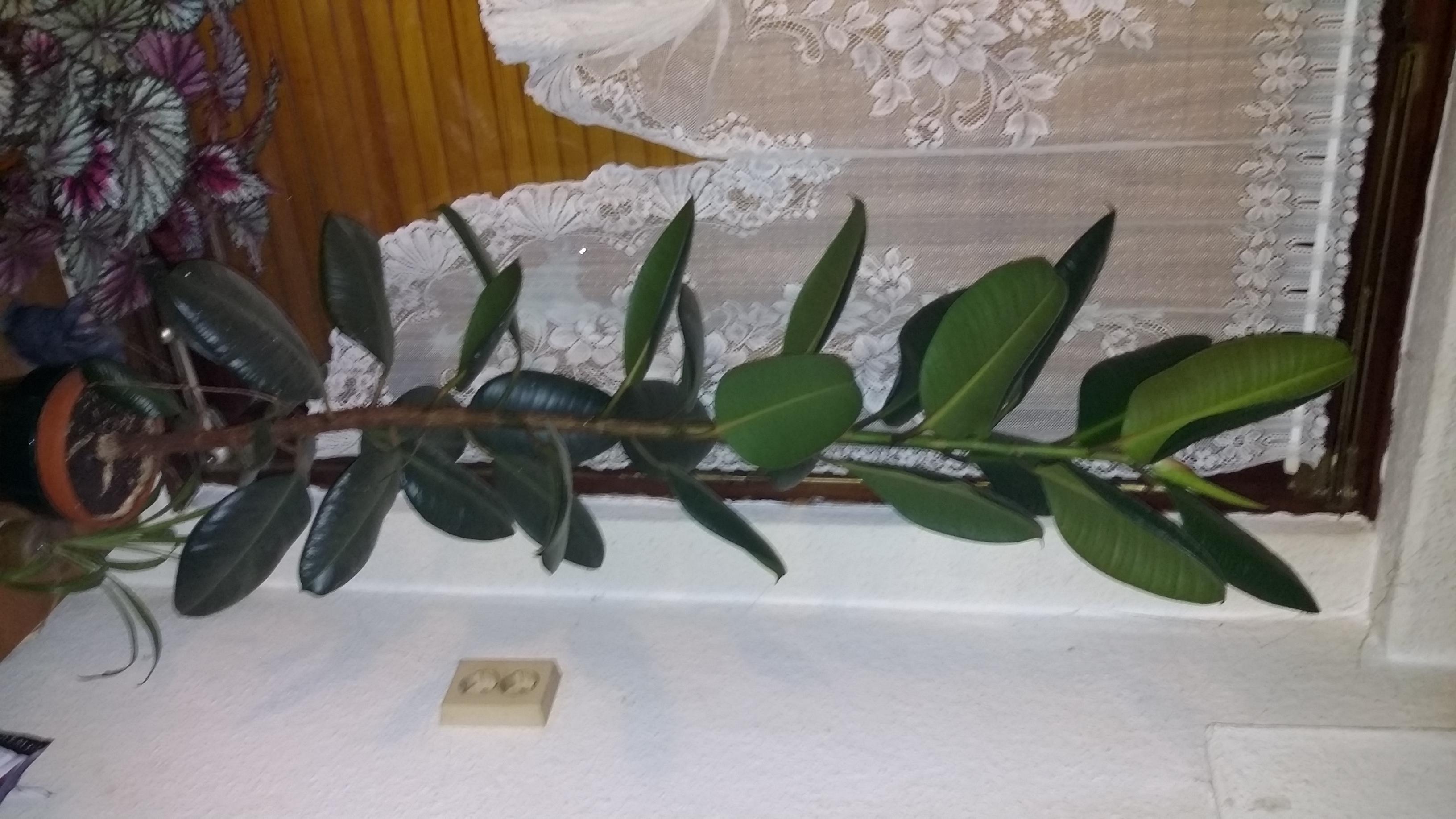 Mein Gummibaum Ist Ein Langweiler Pflanzen Zimmerpflanzen