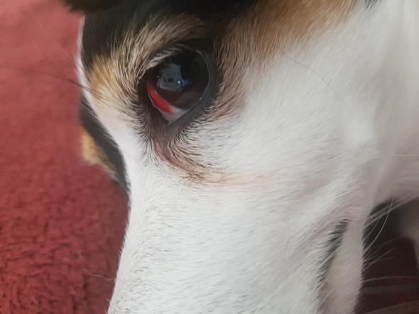 - (Hund, Augen)