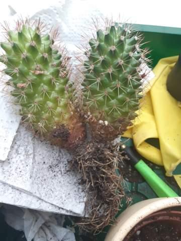 Mein Kaktus wird unten braun. Was tun?