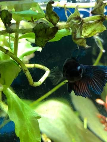 Mein Kampffisch Weibchen hat ein Glotzauge?