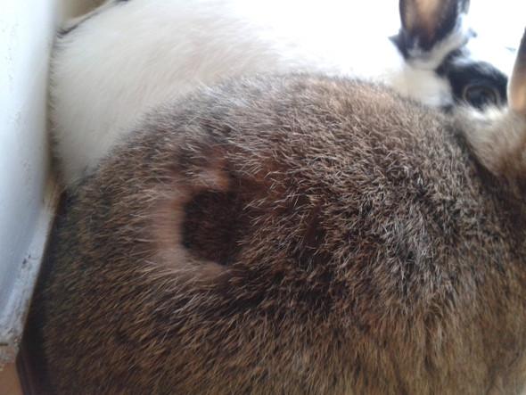 - (Kaninchen, Haarausfall, Fellwechsel)