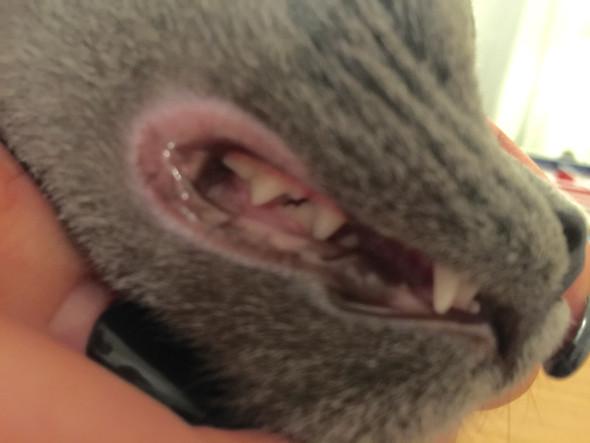Hinteren Zähne   - (Krankheit, Katze, Zähne)