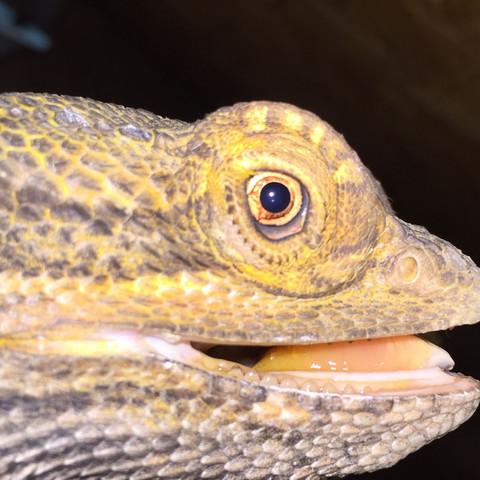 Rechtes Auge mit Staub  - (Augen, staub, Bartagame)