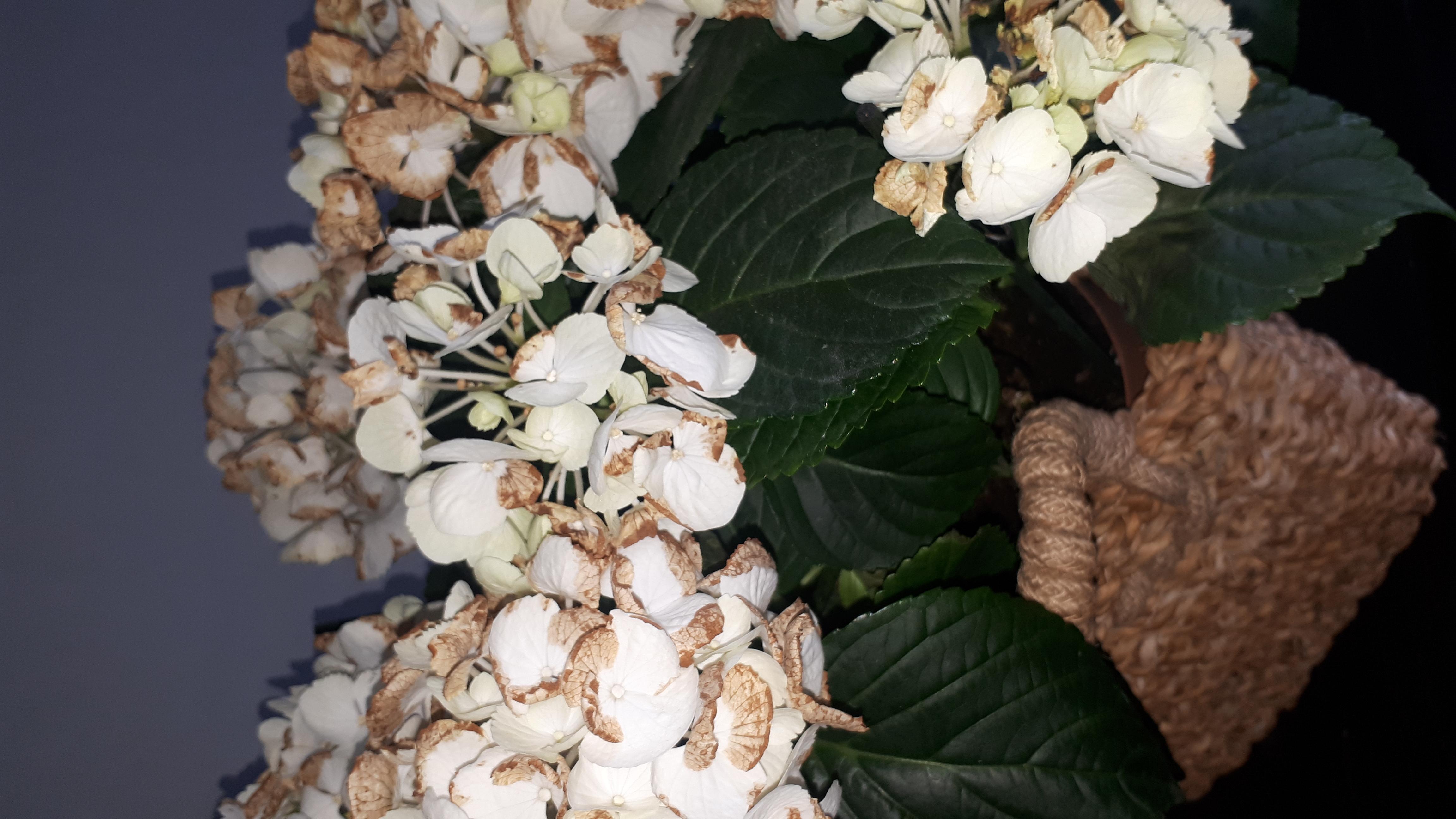 meine hortensie hat braune bl ten sollte ich sie abschneiden wenn ja wie pflanzen blumen
