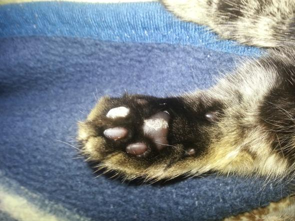 Katzenpfote - (Tiere, Katze, Haustiere)