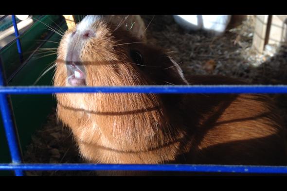 Möhre  - (Tiere, Tierarzt, Meerschweinchen)