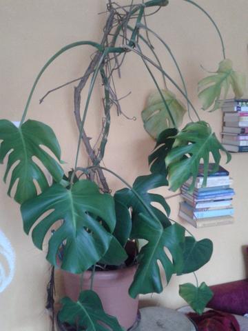 monstera - (Pflanzenpflege, Botanik, Zimmerpflanzen)