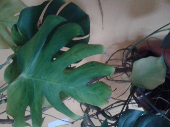 monstera.kleiner trieb - (Pflanzenpflege, Botanik, Zimmerpflanzen)