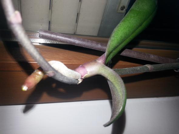 meine orchidee hat einen neuen trieb wie pflanze ich diesen ein pflanzen orchideen. Black Bedroom Furniture Sets. Home Design Ideas