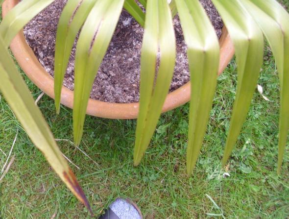 da sind die Risse und auch der schwarze fleck an der Spitze  - (Pflanzen, Pflege, trocken)