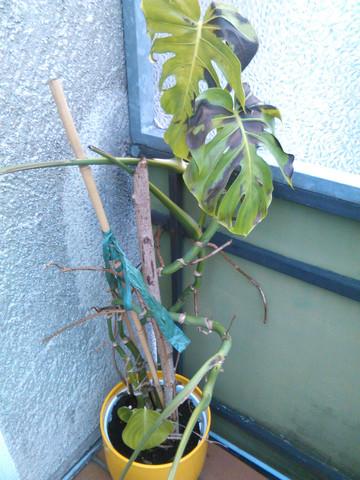 Dunkle Flecken 1 - (Pflanzen, sterben, dunkle-flecken)