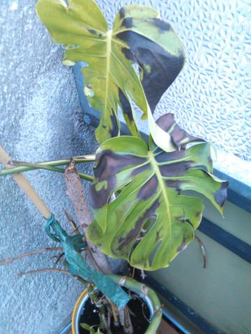 Dunkle Flecken 2 - (Pflanzen, sterben, dunkle-flecken)