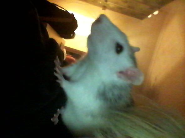▲ das ist Milchschnitte (Huskyratte, knapp 2 Jahre alt)  - (Ratten, Ratte Untergewicht)