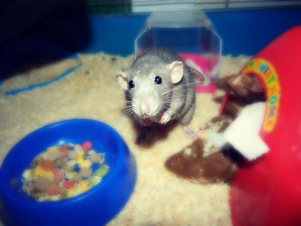 Meine Ratte <3  - (Gesundheit, Tiere, Körper)