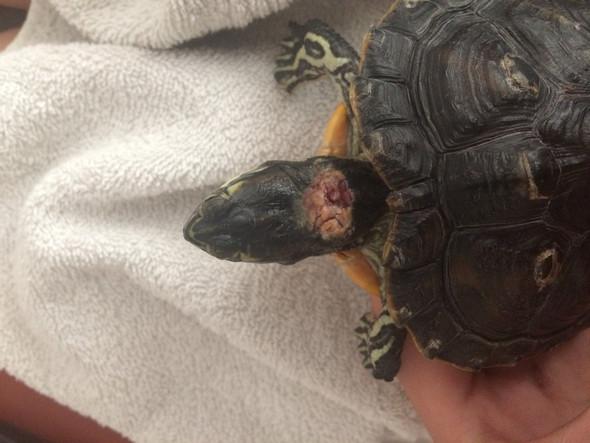 Gelbwangen Schildkröte  - (Tiere, krank, Schildkröten)