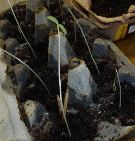 Tomatenpflanzen, ca. Paar Wochen alt - (Pflanzen, Natur, Tomaten)