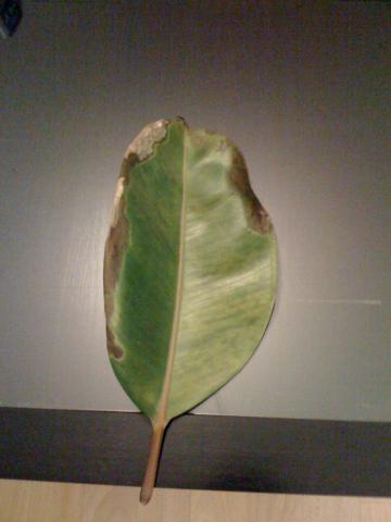 Meine Zimmerpflanze (Ficus Elastica) verliert alle Blätter. Was kann ich tun?