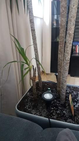 Meine Zimmerpflanze verliert Blätter. Warum? (Dracaena)?