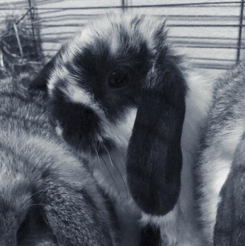 Das ist das Männchen... - (Kaninchen, Rang, Zwergwidder)