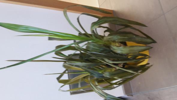 meiner yucca palme ist beim l ften zu kalt geworden kann ich noch was machen pflanzen. Black Bedroom Furniture Sets. Home Design Ideas