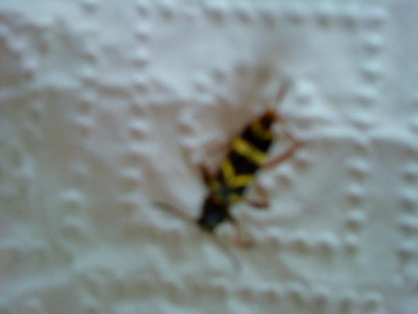 Mir sind im Wohnzimmer gelb-schwarze insekten begegnet (schwarz)