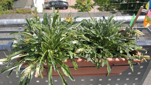 Mittagsgold - (Garten, Pflanzen, Blumen)