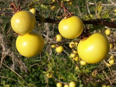 Bilduntertitel eingeben... - (Pflanzen, Botanik, Mittelmeerflora)