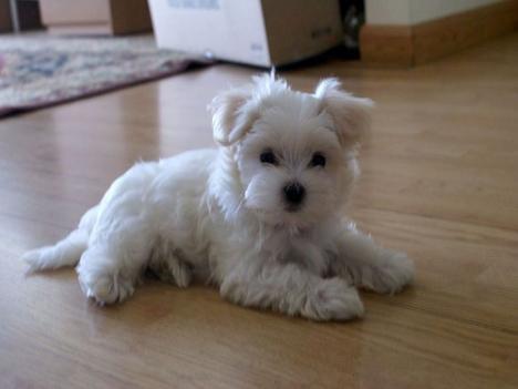 Malteser - (Hund, Familie, überreden)
