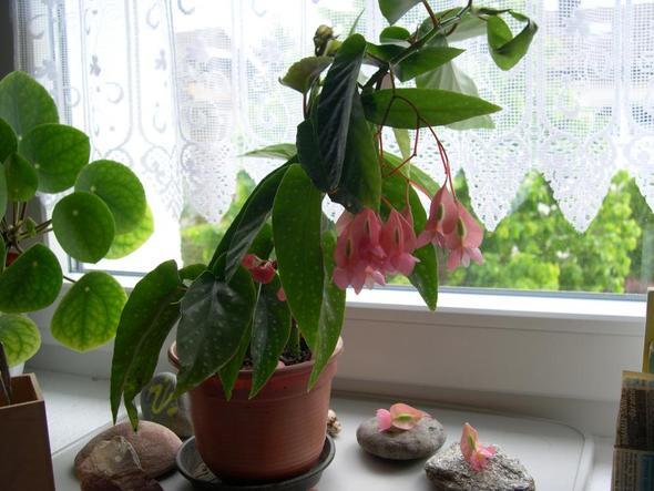 name der pflanze mit rosa bl ten gesucht pflanzen blumennamen. Black Bedroom Furniture Sets. Home Design Ideas