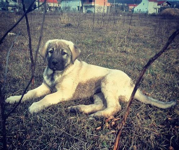 Name Fur Ein Kangal Rude Hund