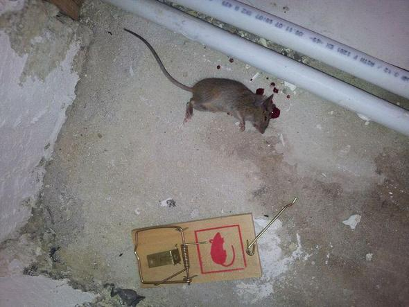?? - (Maus, Tee, Ratten)
