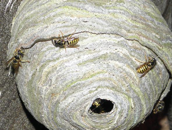 (Nest) Welche Art Von Wespen Ist Das? (Deutsche, Gemeinde