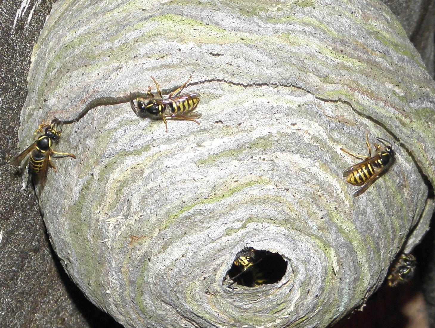 nest welche art von wespen ist das deutsche gemeinde dachboden. Black Bedroom Furniture Sets. Home Design Ideas