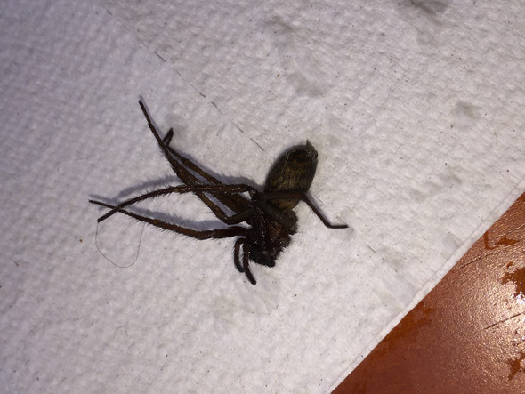 Neue Spinne in München: Welche Spinnenart ist das?